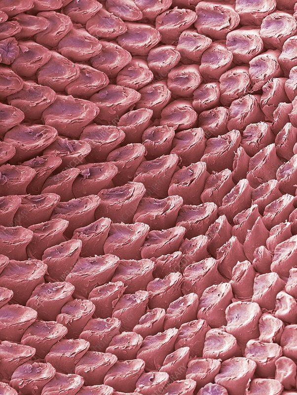 Cat tongue surface, SEM
