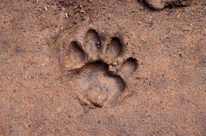 Tiger Footprint