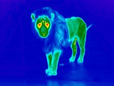 Lion, thermogram