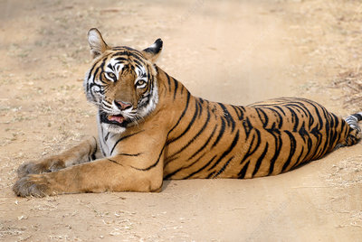 Bengal tigress resting