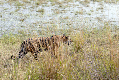 Bengal tigress in long grass