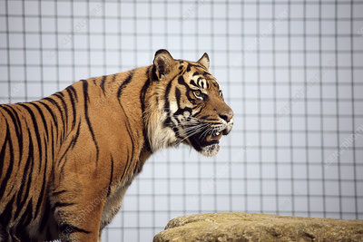 Tiger in captivity