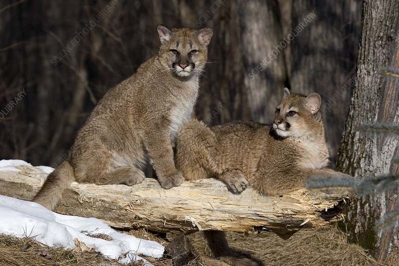 Young cougars