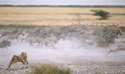 Lion Charges Zebras
