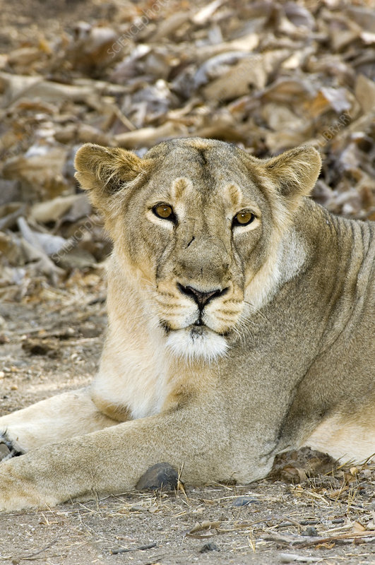 Female Asiatic lion