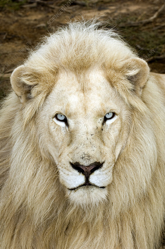 Male white lion