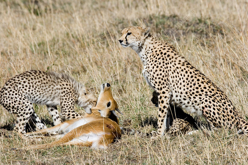 Cheetah mother and cub with antelope prey