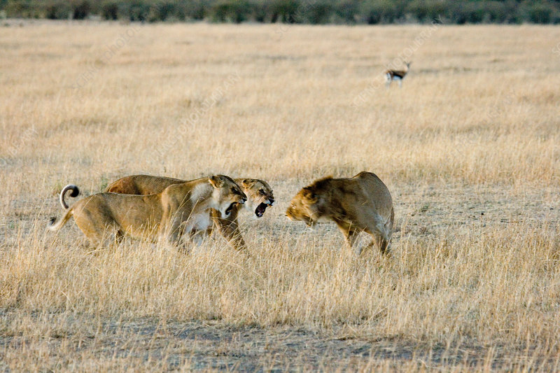 Lionesses threatening a male intruder