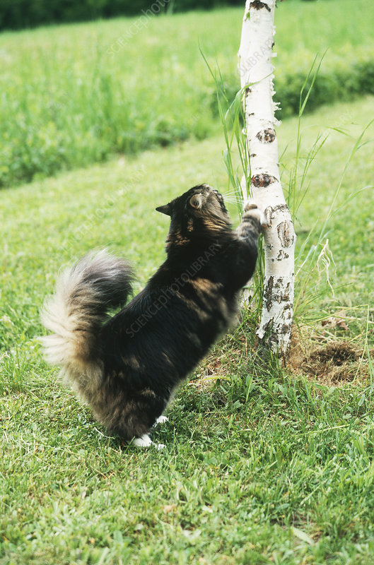 Maine Coon Cat Scratching Tree