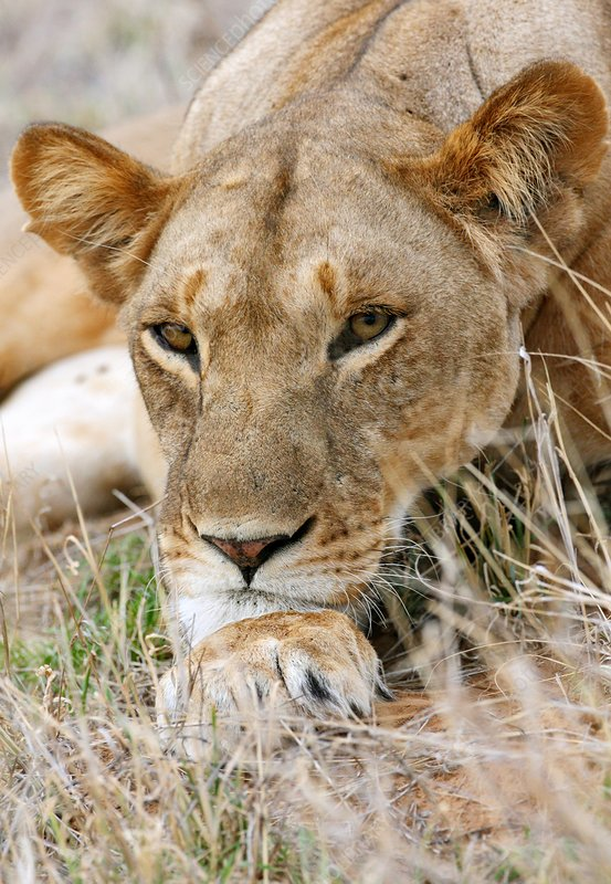 African lioness resting