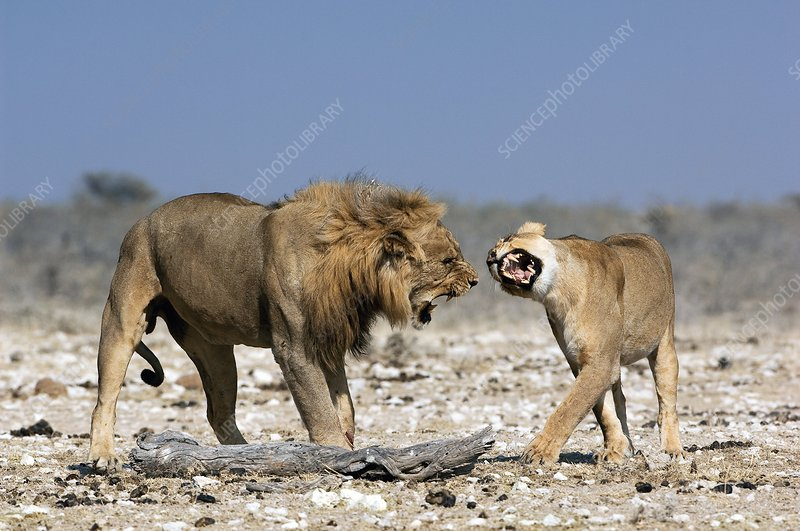 African lion mating ritual