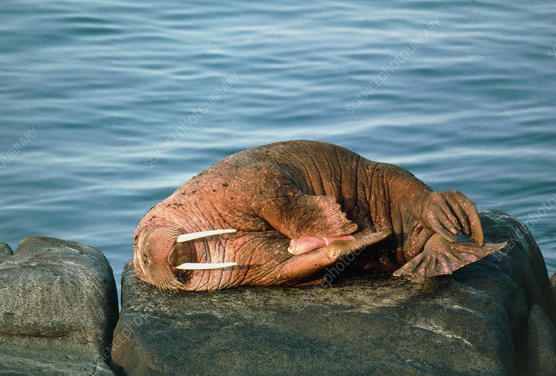male walrus penis
