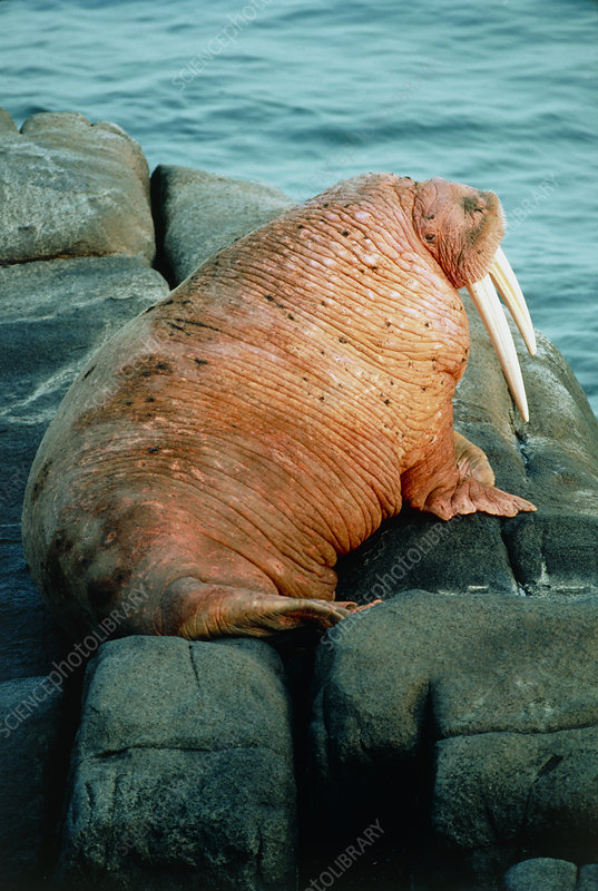 Male Pacific walrus