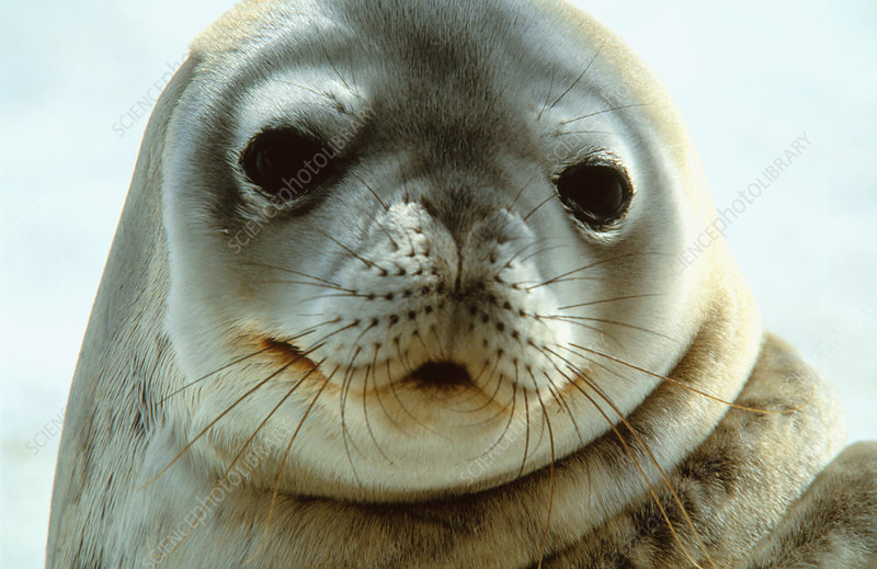 Weddell Seal - Stock Image Z936/0052 - Science Photo Library