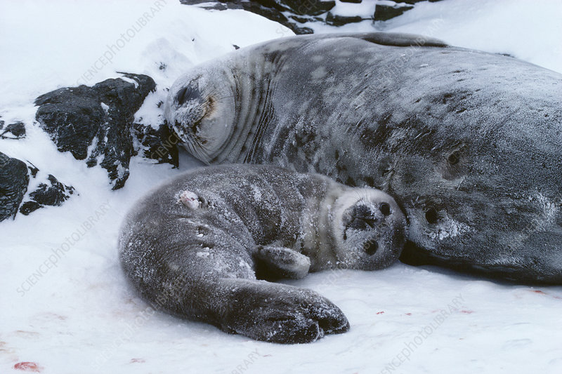 Weddell seal mother with pup