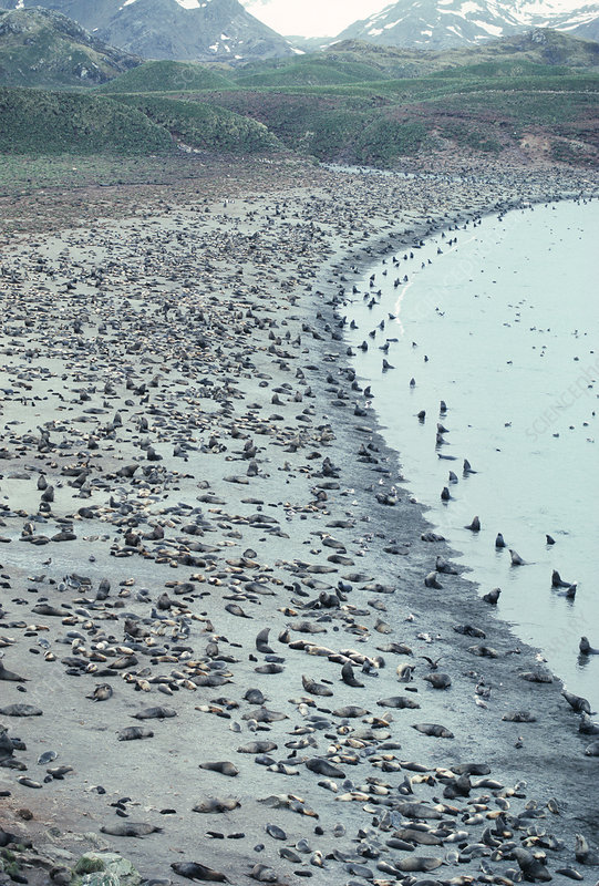 Southern fur seal colony