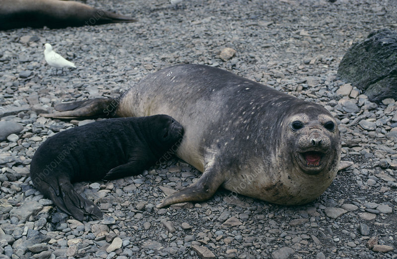 Southern elephant seal mother and pup