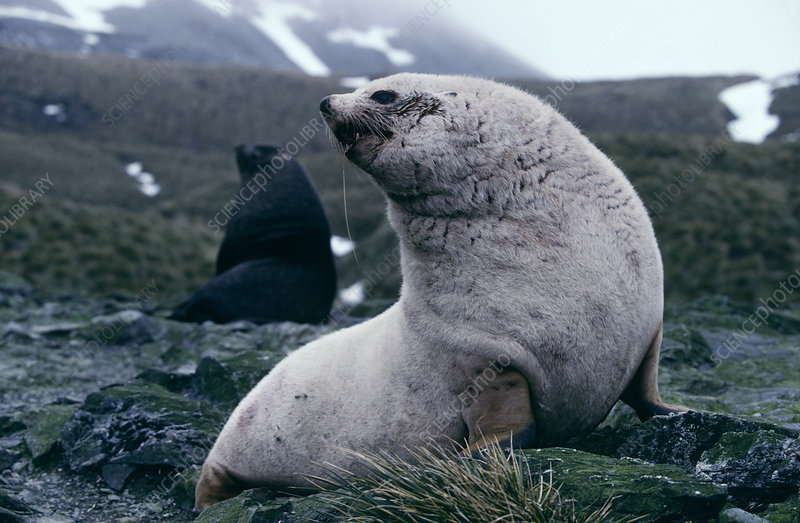 Male blonde fur seal