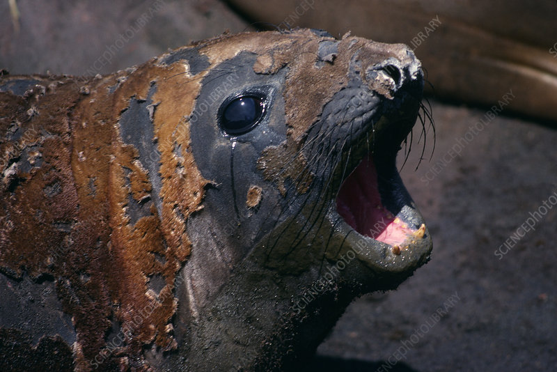 Southern elephant seal moulting