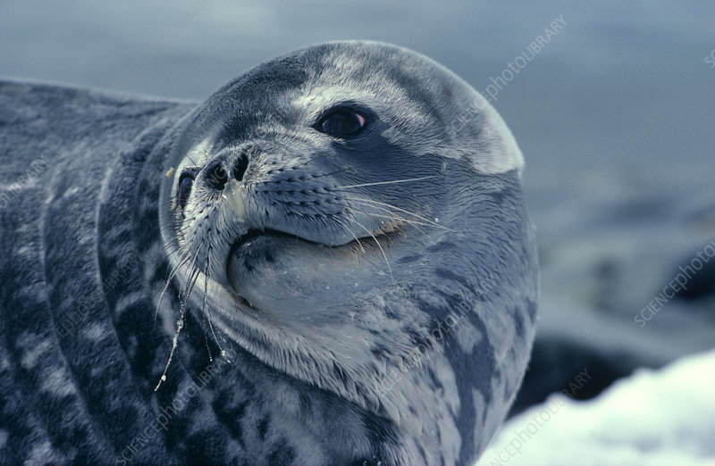 Weddell seal - Stock Image Z936/0130 - Science Photo Library