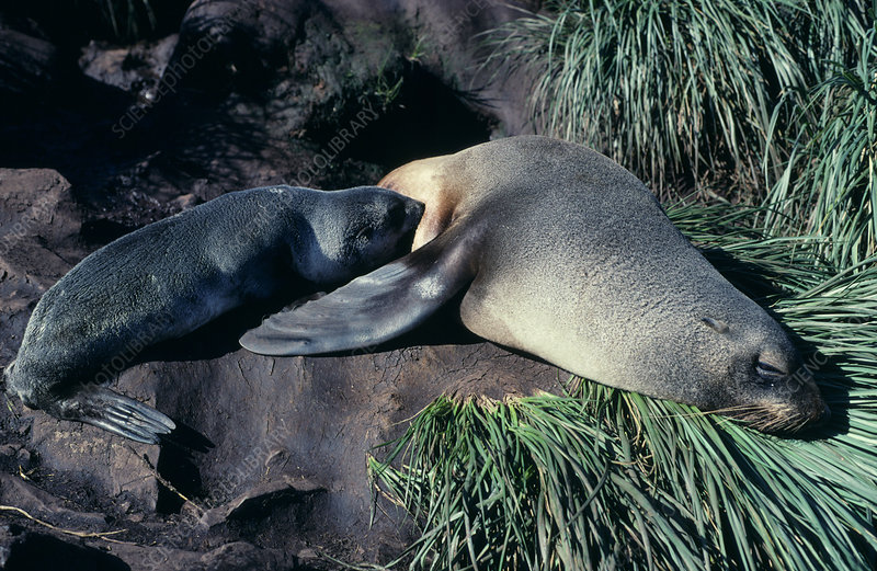 Antarctic fur seal mother and pup