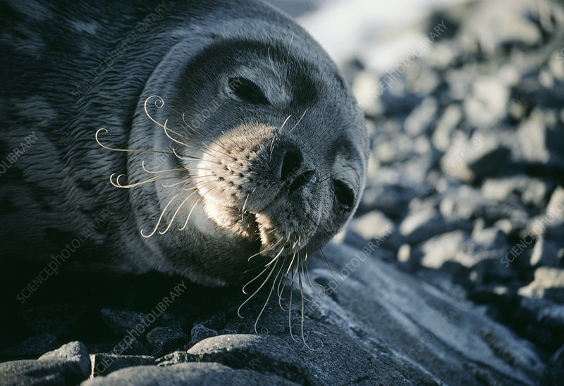 Basking Weddell seal