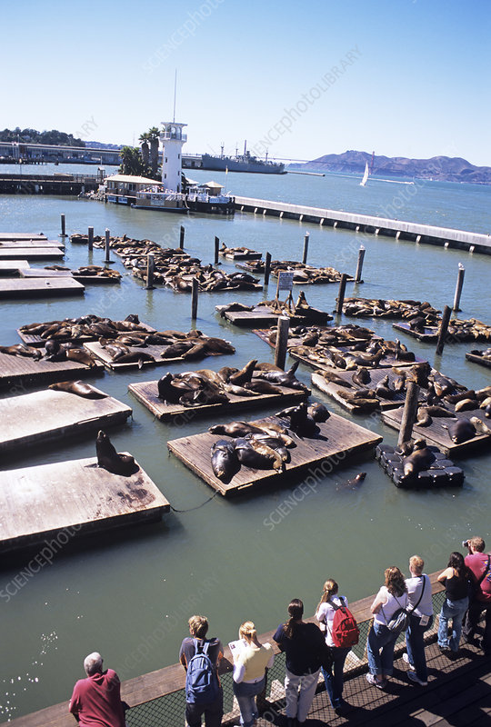Tourists watching sea lions