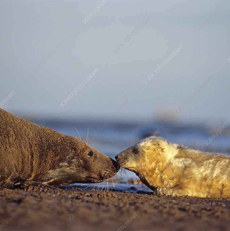 Grey seal pup and mother