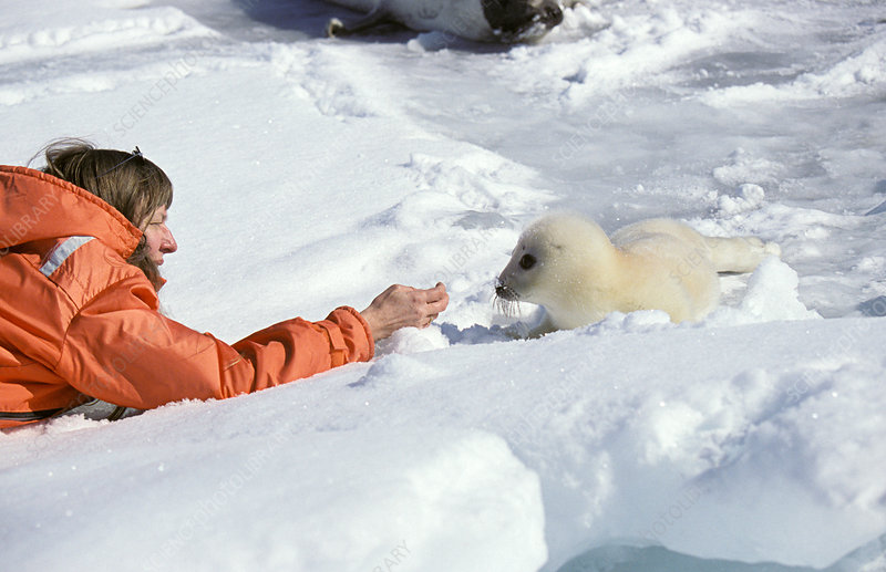 Tourist and harp seal pup