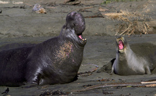 Female and Male Northern Elephant Seals