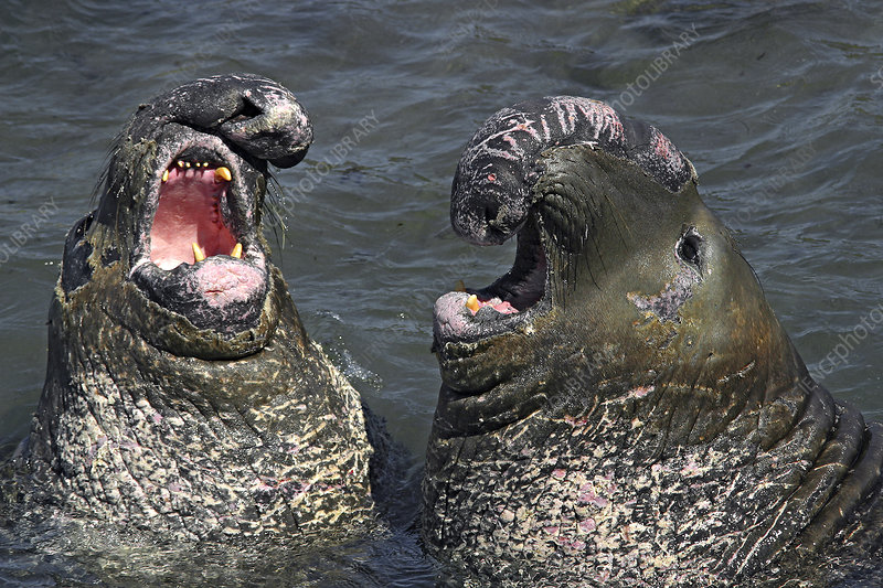 Male Northern Elephant Seals Sparring