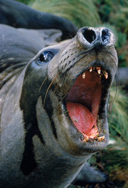Southern Elephant Seal threat display