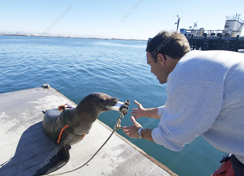 US Navy California sea lion