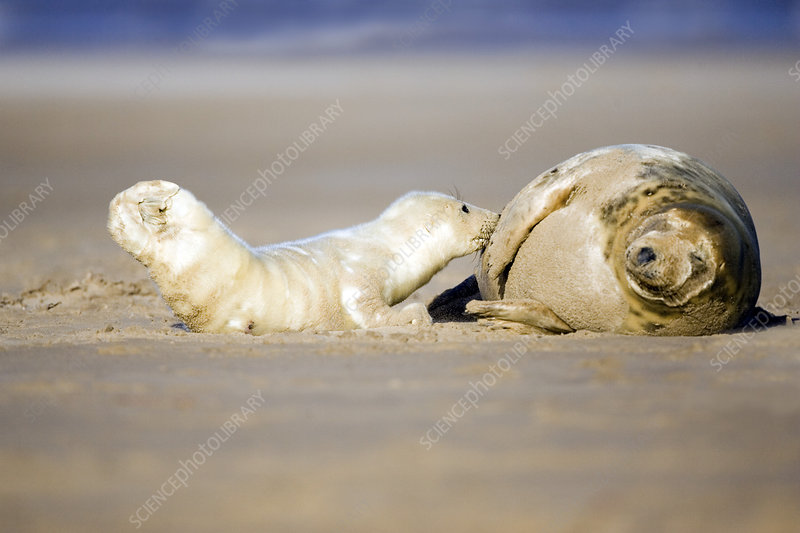 Grey seal pup suckling