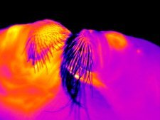 Walruses, thermogram