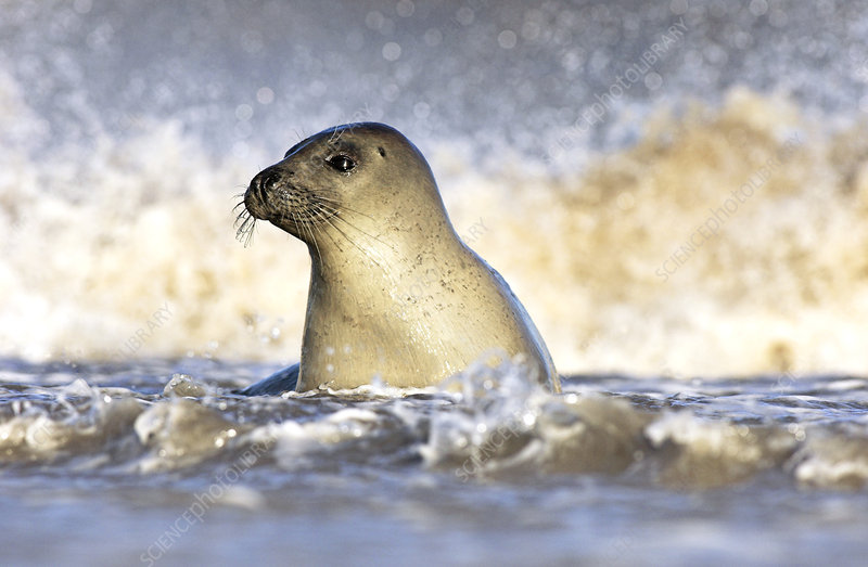 Grey seal juvenile