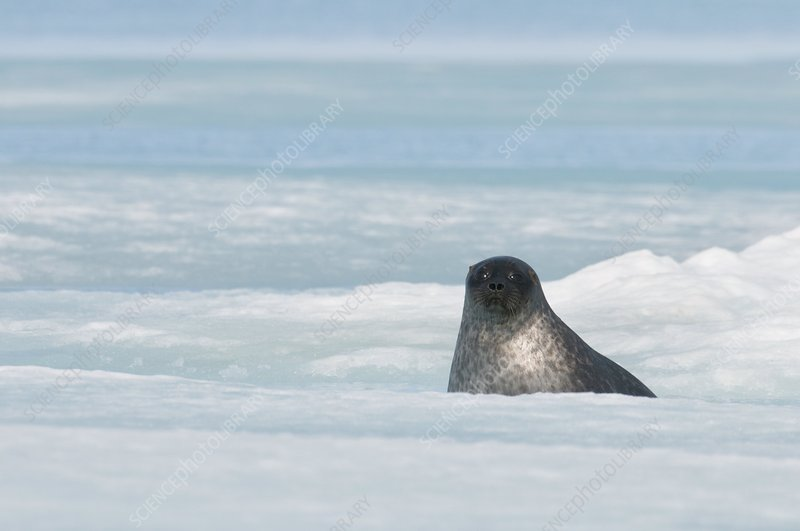 Ringed seal pup