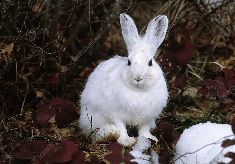 Snowshoe hare (Lepus americanus) in melting snow