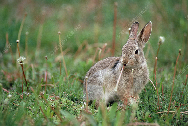 Eastern cottontail rabbit (Sylvilagus floridanus)