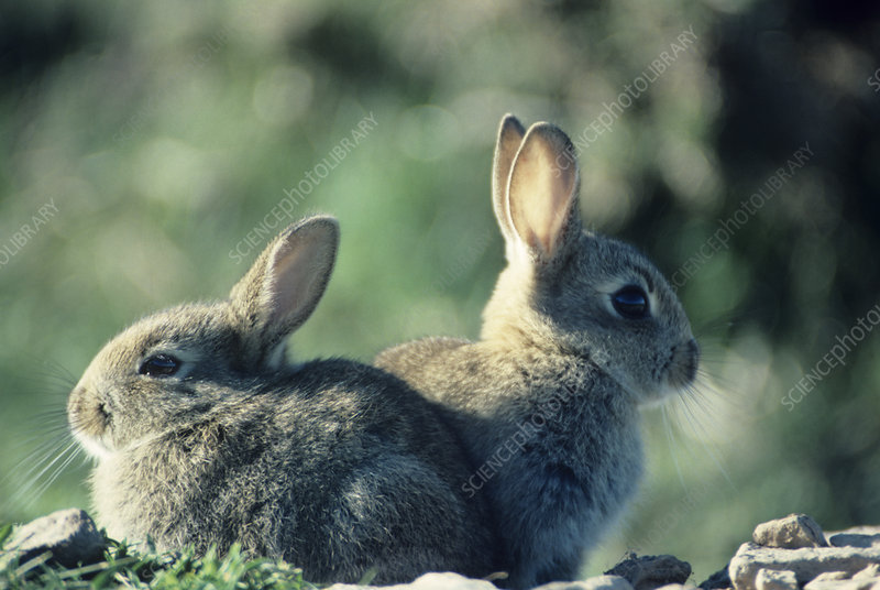 Young European rabbits