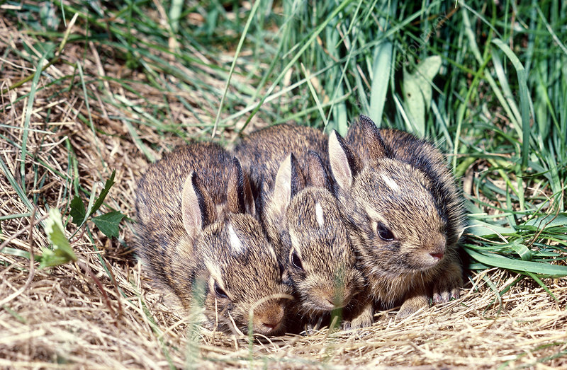 Cottontail Rabbits in nest