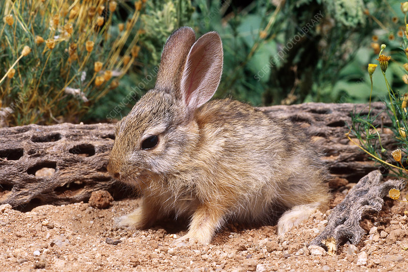 Desert Cottontail baby