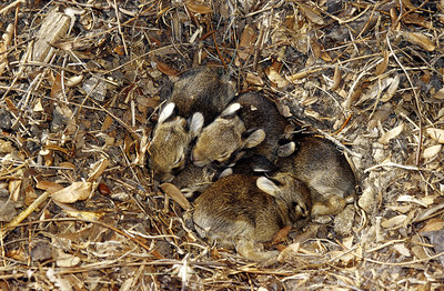 Eastern Cottontail nest