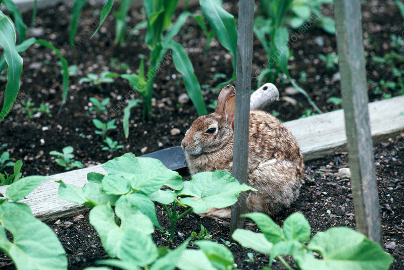 Rabbit in Vegetable Garden
