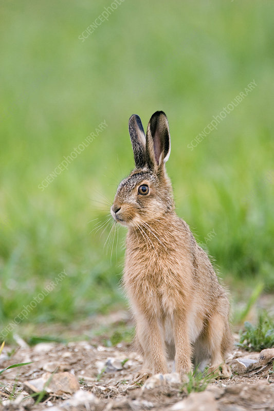 Young European hare