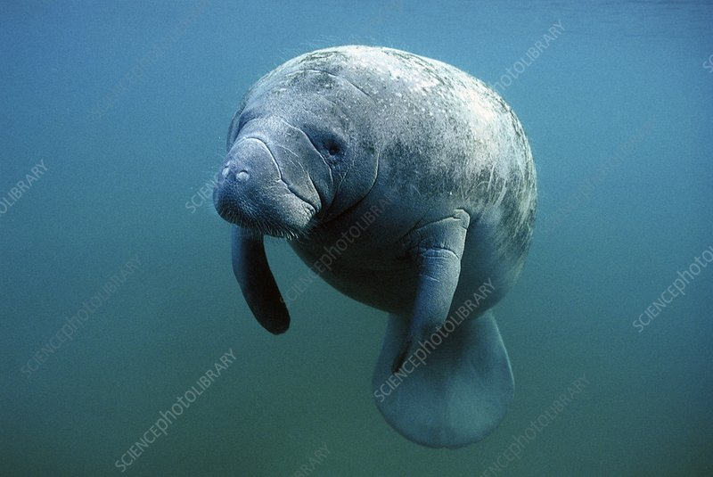 West Indian manatee (Trichechus manatus)