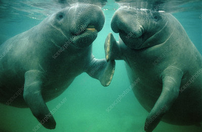 Pair of manatees (Trichechus sp.)