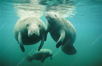 Female manatee (Trichechus sp.) and calves
