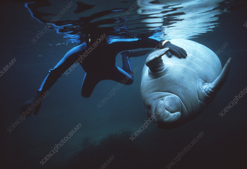 Manatee and diver