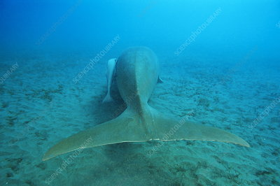Dugong and remoras
